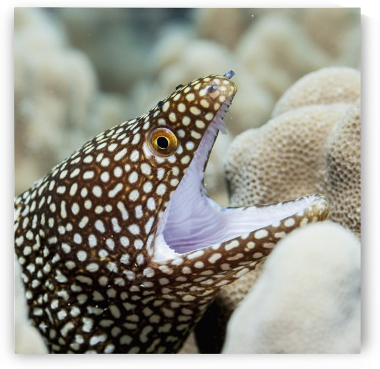 Sharp teeth can be seen in the gaping mouth of this Whitemouth Moray Eel (Gymnothorax meleagris) nestling in coral; Kona, Island of Hawaii, Hawaii, United States of America by PacificStock