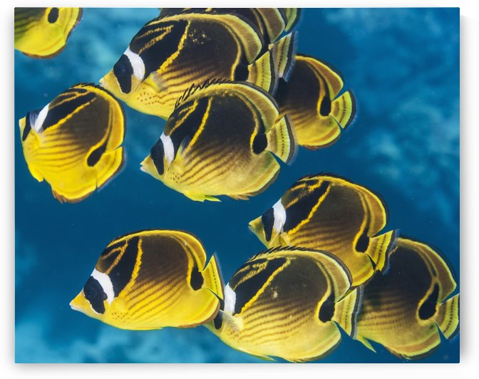 Racoon Butterflyfish (Chaetodon lunula) schooling near Kona; Island of Hawaii, Hawaii, United States of America by PacificStock