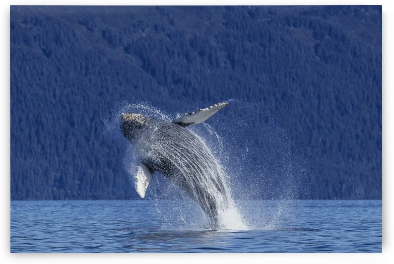 A young Humpback Whale leaps from the calm waters of the Stephens Passage near Tracy Arm, Southeast Alaska, USA. by PacificStock