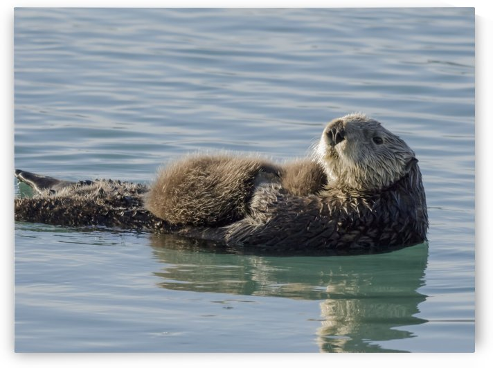 Sea Otter (Enhydra lutris) female with pup in Prince William Sound near Cordova, Alaska by PacificStock