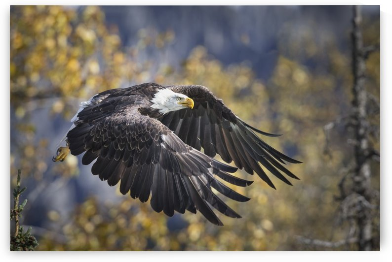 Bald Eagle in flight, Alaska, Autumn by PacificStock