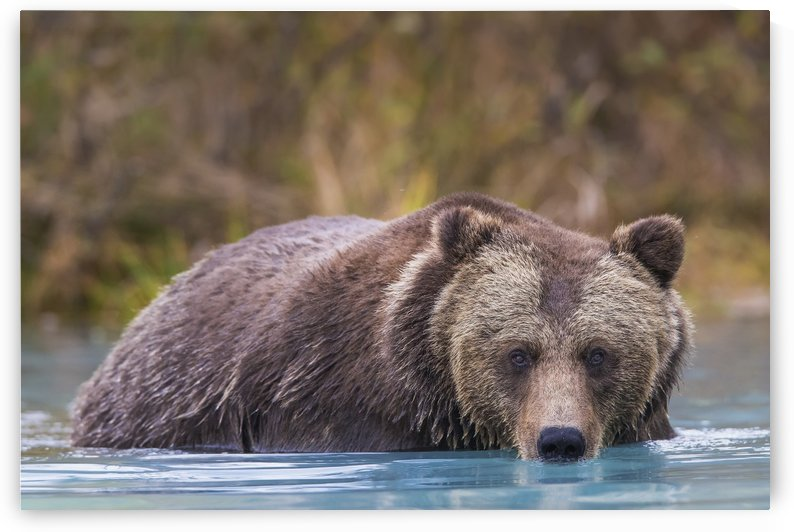 Close up of a coastal Brown Bear (Ursus Arctos) wading in water, Southcentral Alaska, Autumn by PacificStock