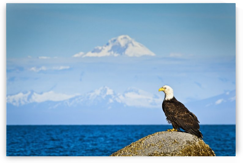 Bald Eagle perched on a rock overlooking Cook Inlet with Mt. Redoubt in the background, Ninilchik, Kenai Peninsula, Southcentral Alaska, Summer. by PacificStock