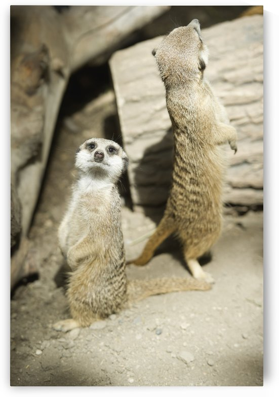 Meerkats standing upright at the Calgary Zoo; Calgary, Alberta, Canada by PacificStock