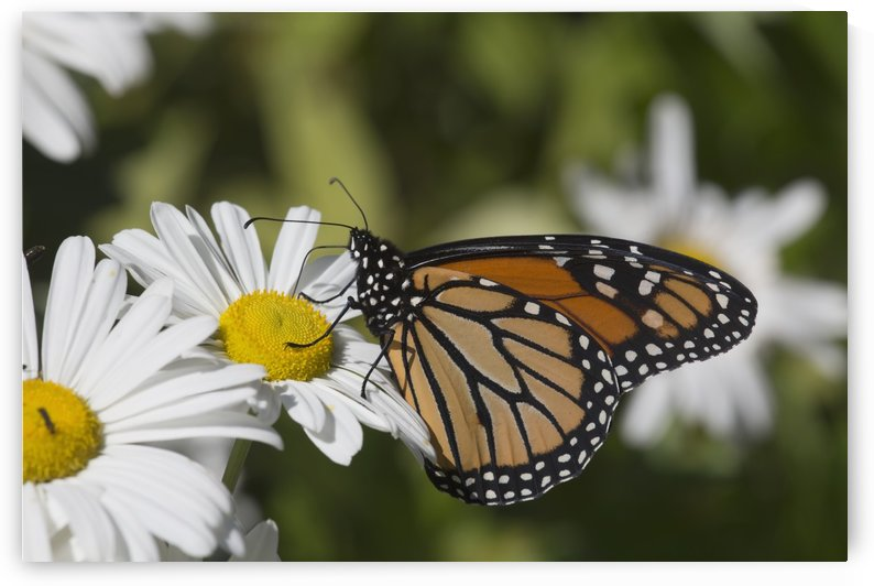 Monarch Butterfly (Danaus plexippus) nectaring on a Montauk Daisy in autumn; Madison, Connecticut, United States of America by PacificStock