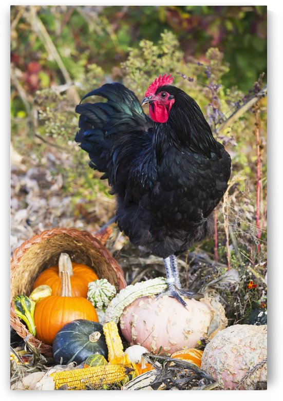 Large black Australorp rooster among gourds in autumn garden; Higganum, Connecticut, United States of America by PacificStock
