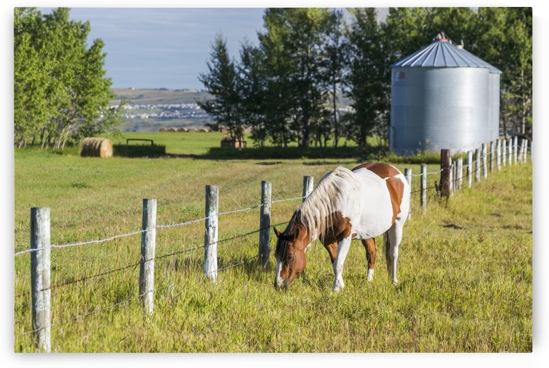 White and brown horse grazing in barbed wire fenced field with grain bins, hay bale, trees and blue sky; Alberta, Canada by PacificStock