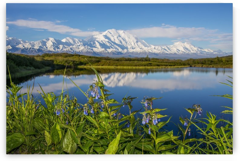 Scenic view of Mt. McKinley reflecting in a Reflection Pond with Bluebells in the foreground, Denali National Park, Interior Alaska, Spring by PacificStock
