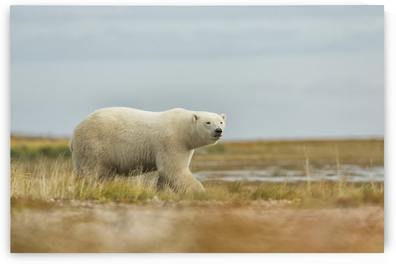 Polar bear walking along the coast of Hudson Bay; Manitoba, Canada by PacificStock