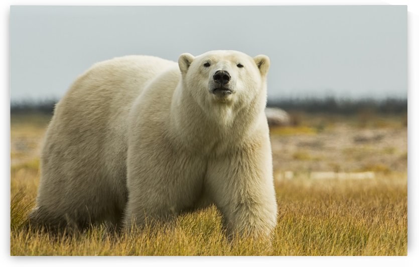 Polar bear walking by the coast of Hudson Bay; Manitoba, Canada by PacificStock