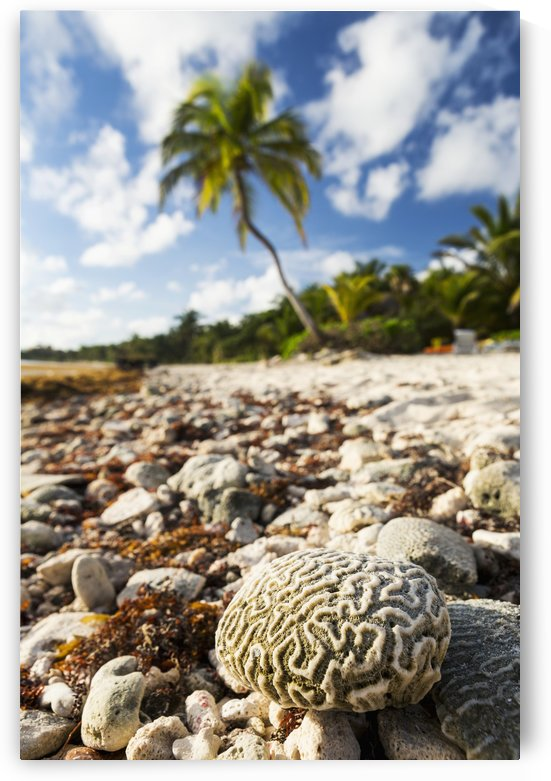 Close up of a brain coral on a coral beach with coconut tree in background with blue sky and clouds; Akumal, Quintana Roo, Mexico by PacificStock