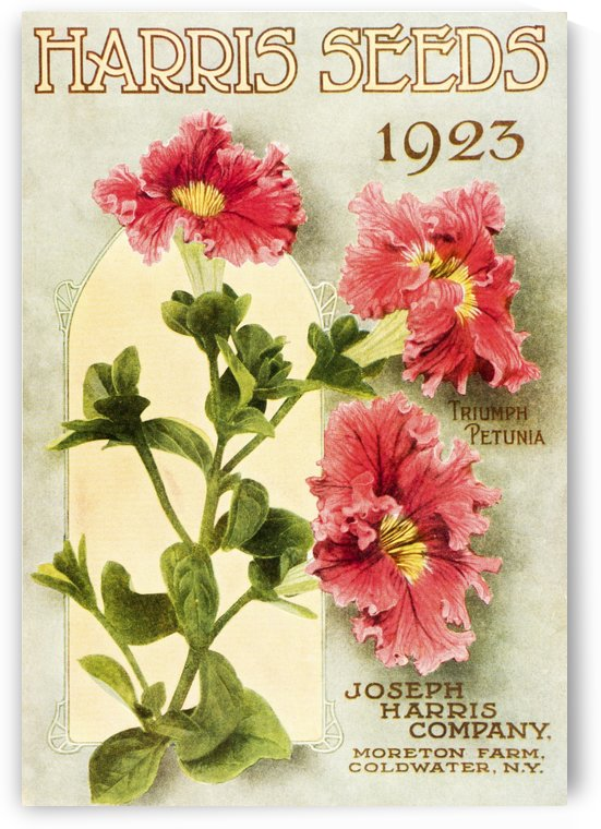 Historic Harris Seeds catalog with illustration of Triumph Petunia flower from 20th century. by PacificStock