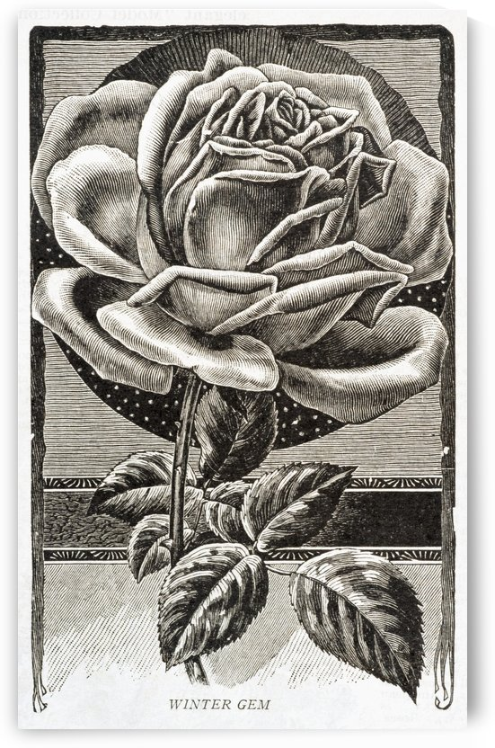 Historic illustration of Winter Gem Rose from 20th century. by PacificStock
