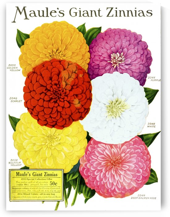 Historic Maule's seed catalog with illustration of giant Zinnnias flower from 20th century. by PacificStock