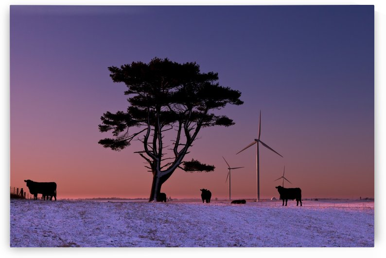 Cattle standing in a field at sunrise with wind turbines in the background, near Edgewood; Iowa, United States of America by PacificStock