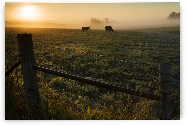 Two cows grazing in a pasture on a foggy summer morning; Iowa, United States of America by PacificStock