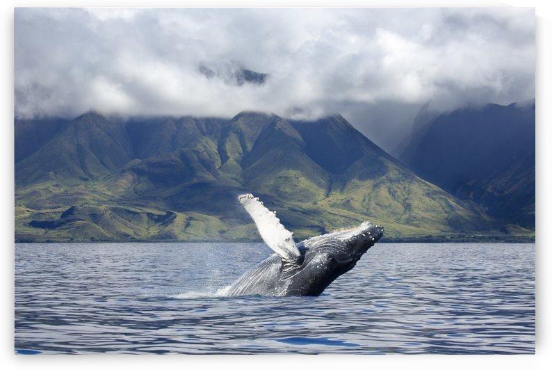 A humpback whale (Megaptera novaeangliae) breaches off the coast of West Maui; Maui, Hawaii, United States of America by PacificStock