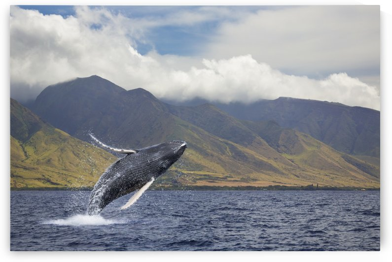 A breaching humpback whale (Megaptera novaeangliae) off the West side of the island of Maui; Maui, Hawaii, United States of America by PacificStock
