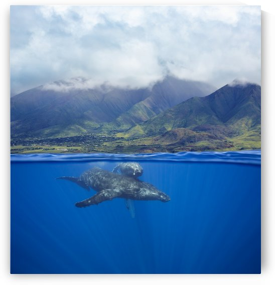 A split image of a pair of humpback whales (Megaptera novaeangliae) underwater in front of the West Maui Mountains just south of Lahaina; Maui, Hawaii, United States of America by PacificStock