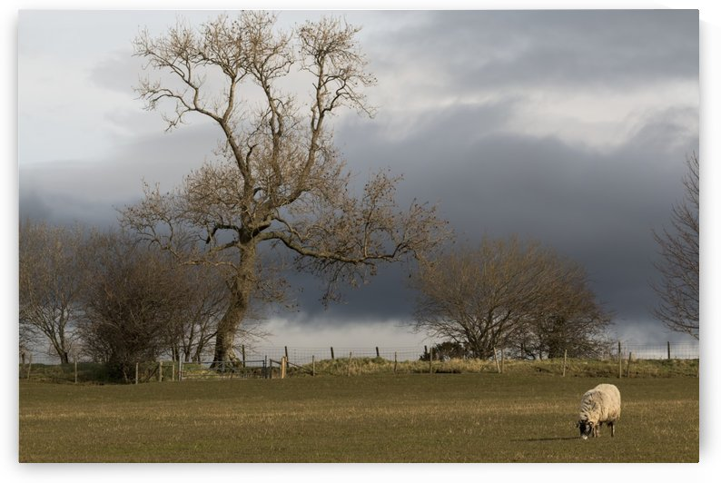A lone sheep grazes in a field with dark clouds overhead; Cumbria, England by PacificStock