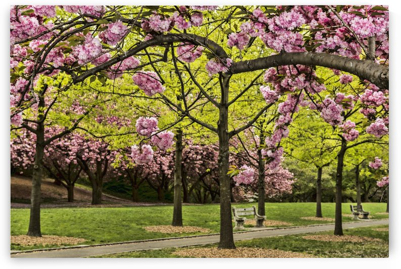Cherry blossoms along Cherry Esplanade  (prunus kanzan), Brooklyn Botanic Garden; Brooklyn, New York, United States of America by PacificStock