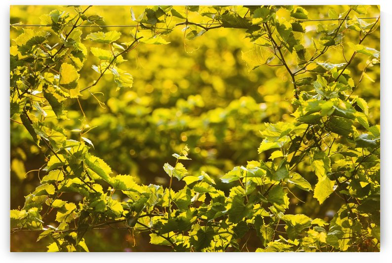 Close up of grapes growing on a vine; Orangeville, Ontario, Canada by PacificStock