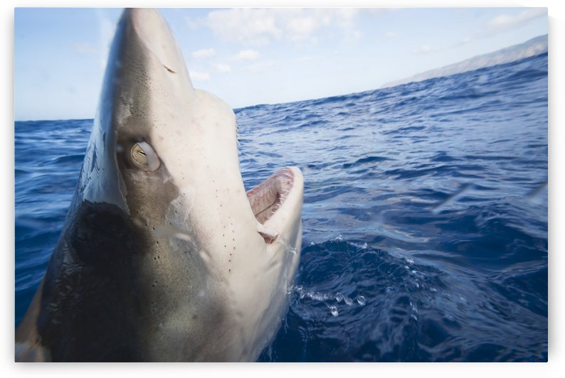 Galapagos shark (Carcharhinus galapagensis) can reach twelve feet in length and is listed as potentially dangerous; Hawaii, United States of America by PacificStock