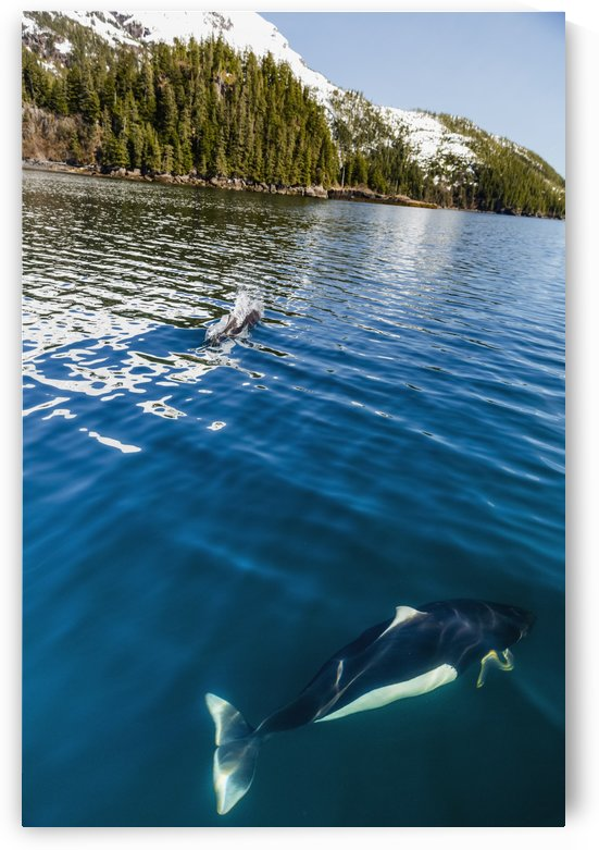 Dall's Porpoises swimming at the surface of the ocean, Prince William Sound, Whittier, Southcentral Alaska, USA, Winter by PacificStock