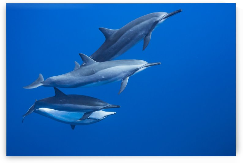 Four spinner dolphin (Stenella longirostris) off the island of Lanai; Hawaii, United States of America by PacificStock