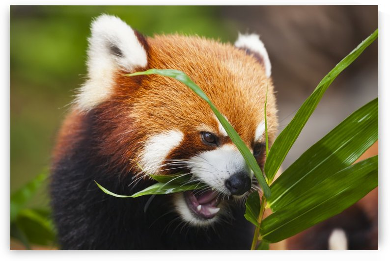 The Red Panda (Ailurus fulgens), or shining cat, is a small arboreal mammal and the only species of the genus Ailurus; Guangdong province, China by PacificStock