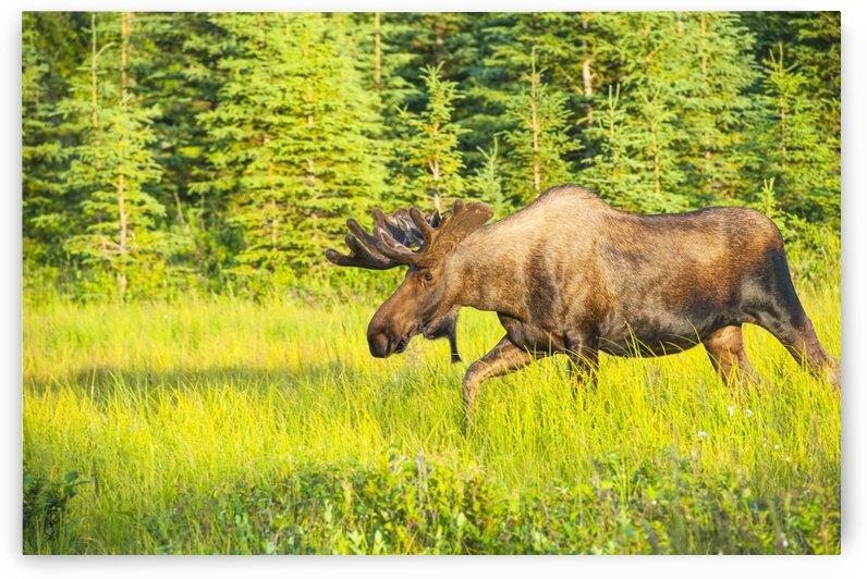 Bull moose in velvet, Kincaid Park, Anchorage, Southcentra Alaska, summer by PacificStock