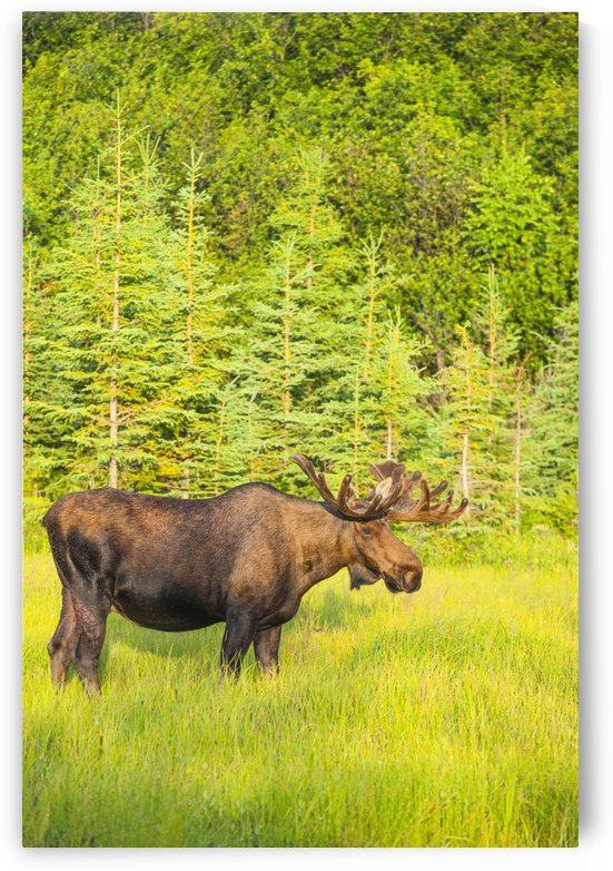 Bull moose in velvet, Kincaid Park, Anchorage, Southcentra Alaska, summer by PacificStock