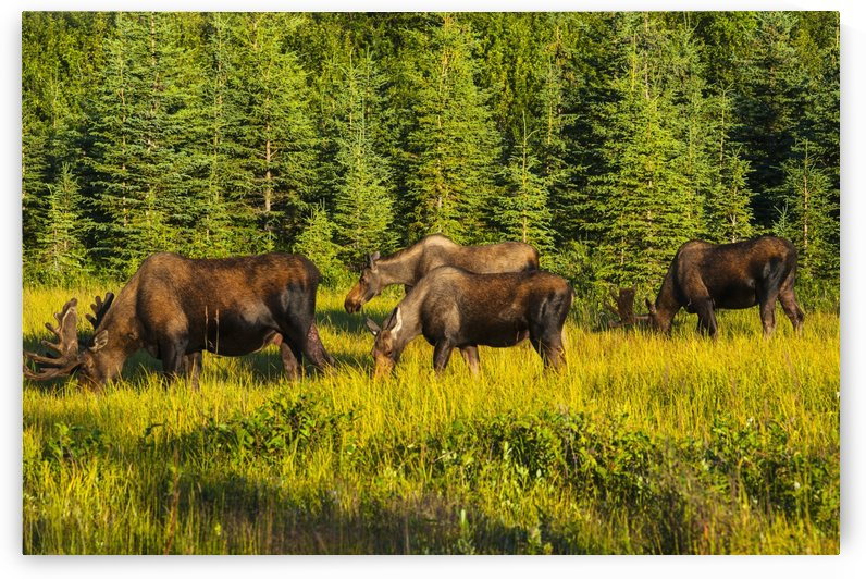 A group of moose, two bulls and two cows, feeding on on grass in Kincaid Park, Anchorage, Southcentral Alaska, summer by PacificStock
