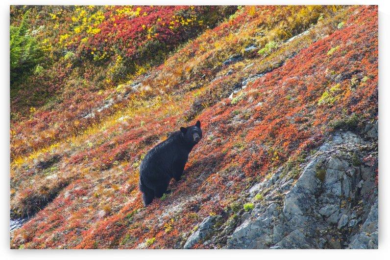 Black bear (Urus Americanus) standing on a colorful autumn hillside, Kenai Fjords National Park, Southcentral Alaska by PacificStock