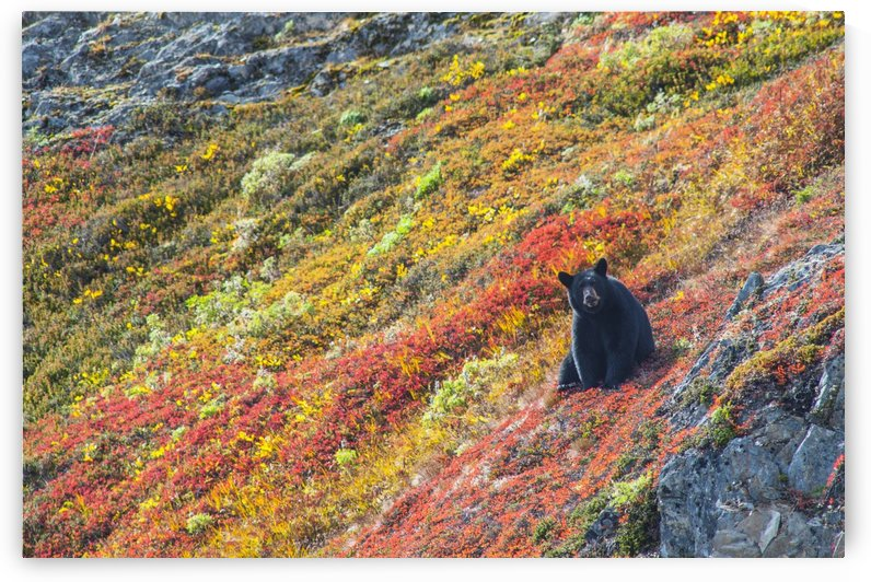 Black bear (Urus Americanus) sitting on a colorful autumn hillside, Kenai Fjords National Park, Southcentral Alaska by PacificStock