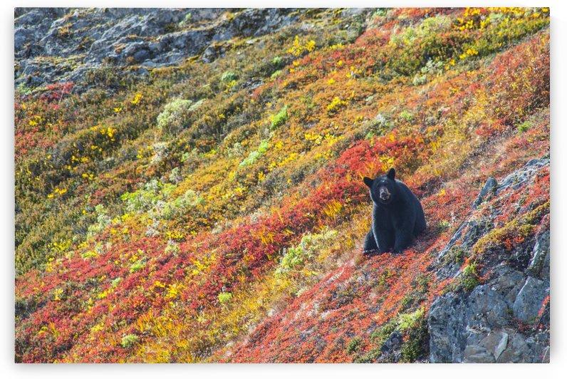 Black bear (Urus Americanus) sitting on a colorful autumn hillside, Kenai Fjords National Park, Southcentral Alaska by PacificStock