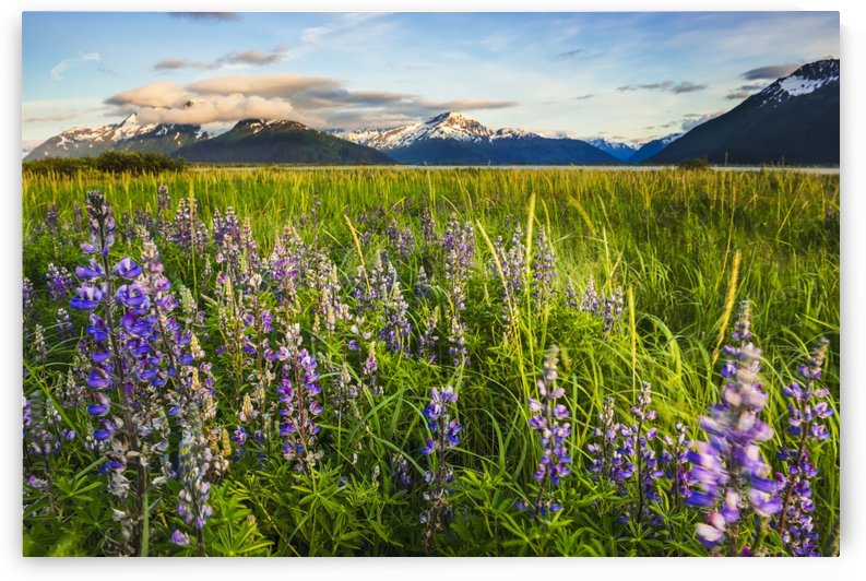 Arctic Lupine field along the Turnagain Arm south of Girdwood, Southcentral Alaska. by PacificStock