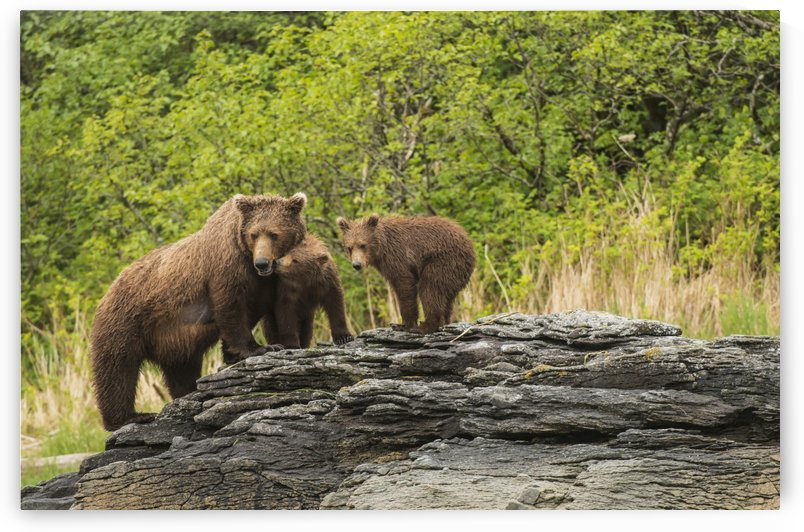 Brown bear sow and cubs in Kukak Bay, Katmai National Park & Preserve, Alaska. by PacificStock