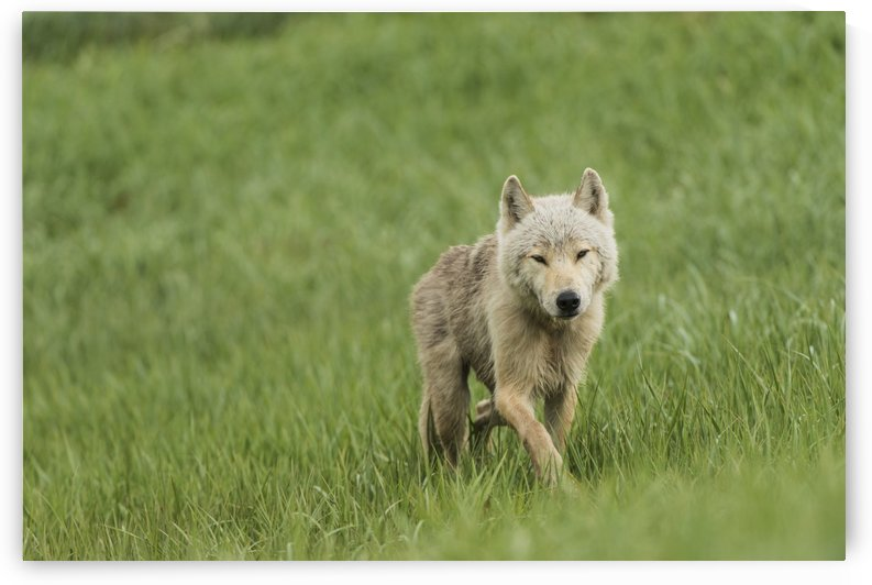 Young wolf in grasses in Kukak Bay, Katmai National Park & Preserve, Alaska. by PacificStock
