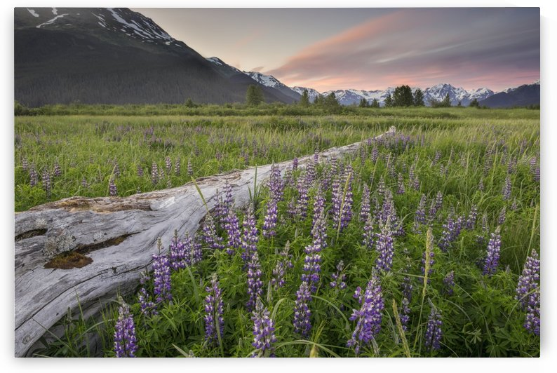 Field of Arctic Lupine near the Turnagain Arm south of Girdwood, Alaska. by PacificStock