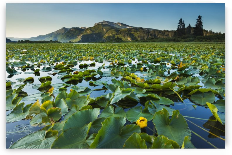 Blooming lily pads cover the surface of Silver Salmon Lake in Lake Clark National Park & Preserve, Alaska. by PacificStock