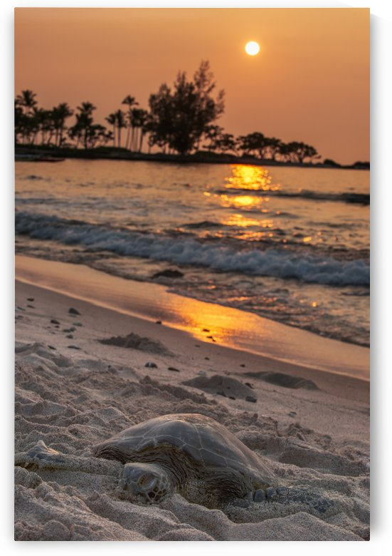 A sea turtle rests on the beach at sunset near Kailua-Kona; Island of Hawaii, Hawaii, United States of America by PacificStock