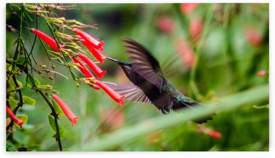 Hummingbird by Audie Alexander