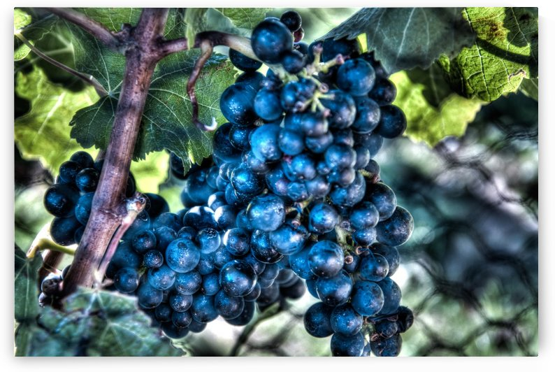 Bunches of Grapes by DLPSquared