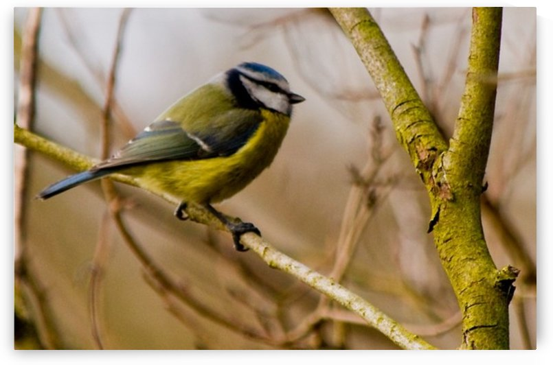 Blue Tit by Tede