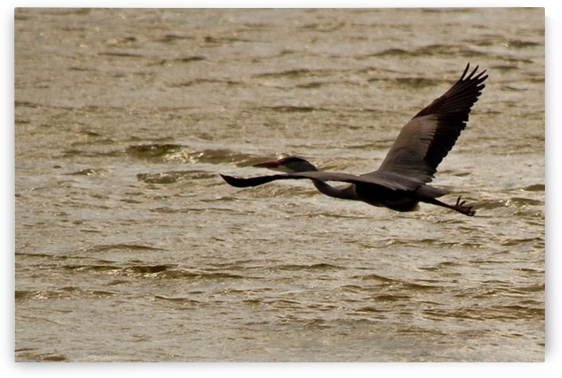 Heron flying by Tede