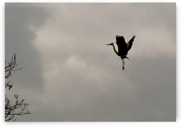 Heron landing by Tede
