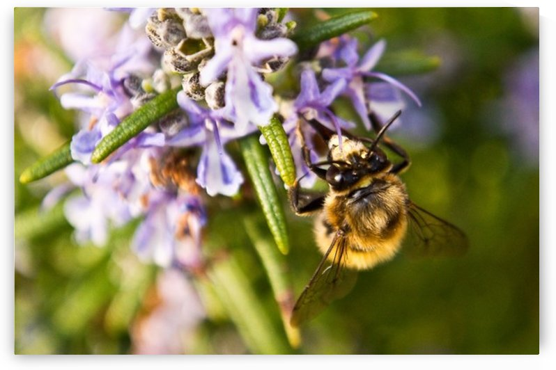 Bee on the Rosemary flower  by Tede