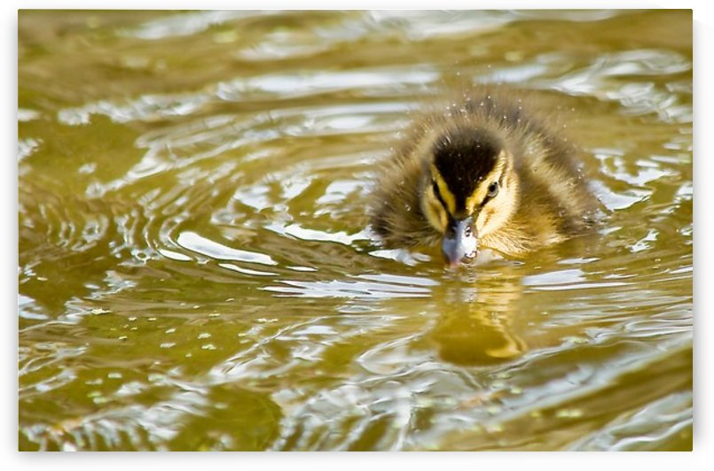 Mallard chick with attitude by Tede