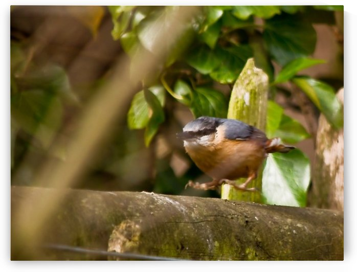 Nuthatch jumping by Tede